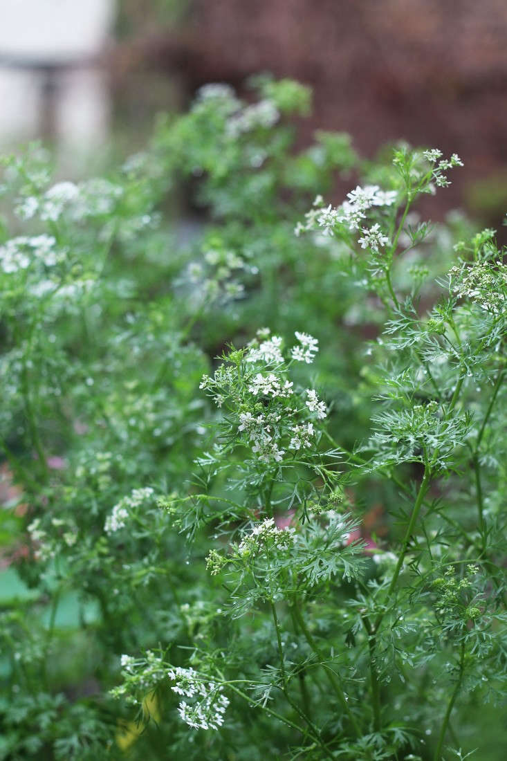 Cilantro is an example of an herb that&#8