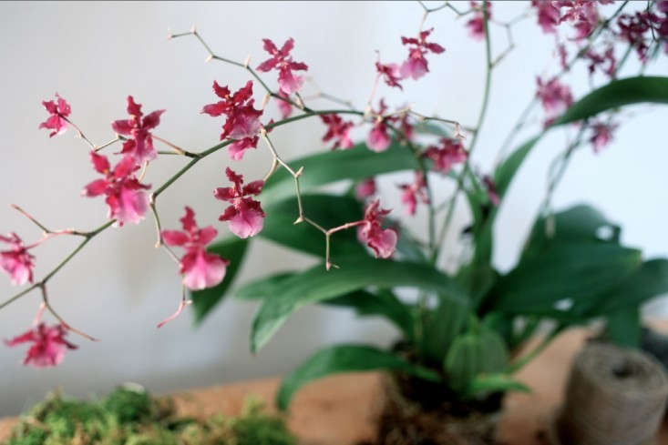 For more of this orchid, see DIY: A Hanging Orchid, Father's Day Edition. Photograph by Sylvia Moreno-Bunge.