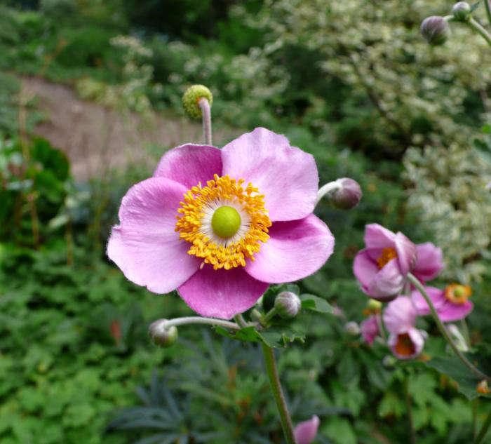 beth-chatto-garden-pink-anemone-gardenista