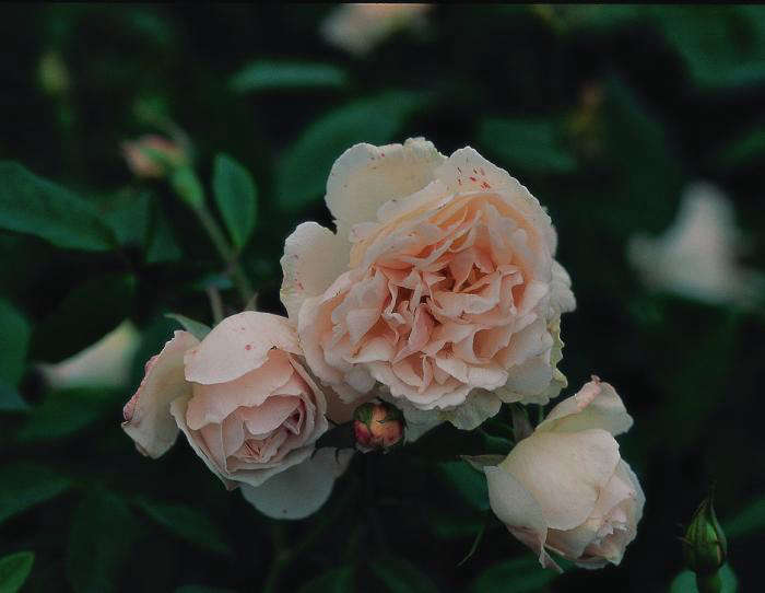 700_earthkind-spice-rose-blooming-with-flecks