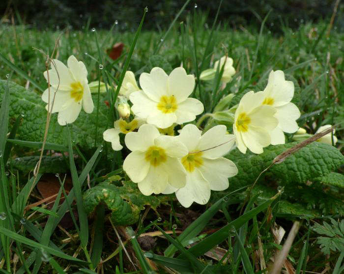 primroses-garden-grass-gardenista