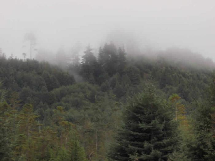 700_ancient-misty-tree-tops-jpeg