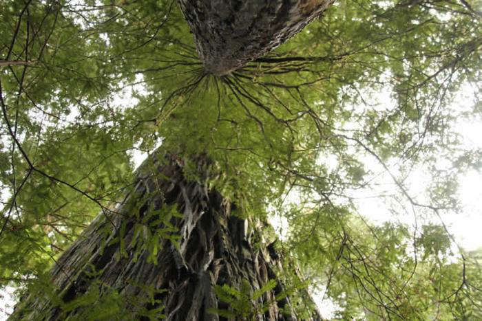 700_ancient-tree-looking-up-better-jpeg