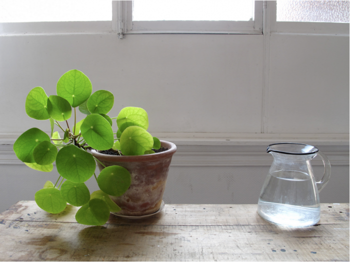 See more of this pilea in The Plant Portraits of Mieke Verbjilen. Photograph by Mieke Verbiljen.