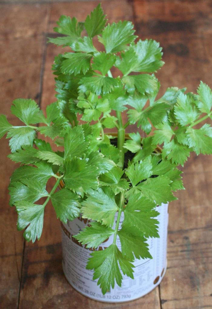 The result is an established celery plant with leaves you can carefully use right away—and stalks you can use later as the celery continues to grow.