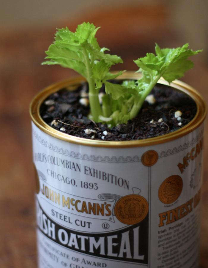 Water the celery generously (and continue to water at consistent intervals, being careful not to over water the plant—you don&#8