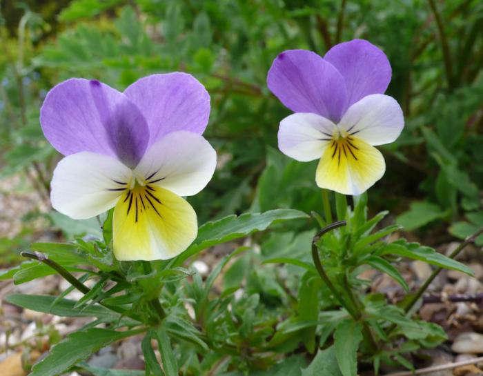 violas-heartsease-viola-gardenista