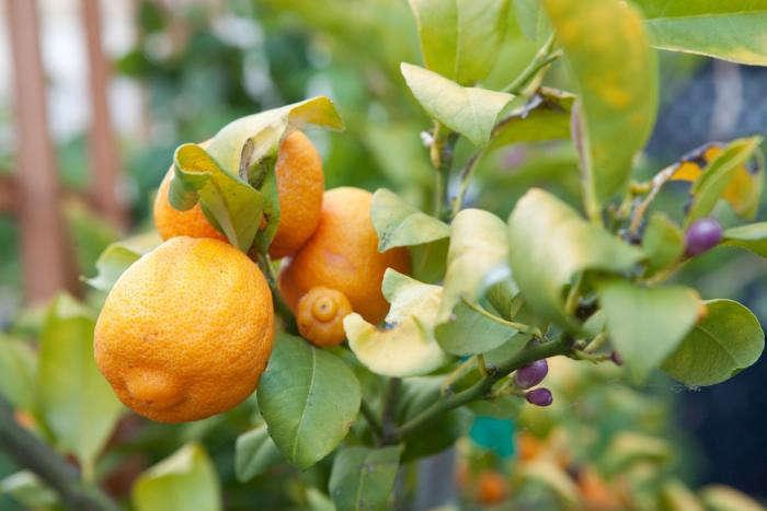700_fairmont-lemon