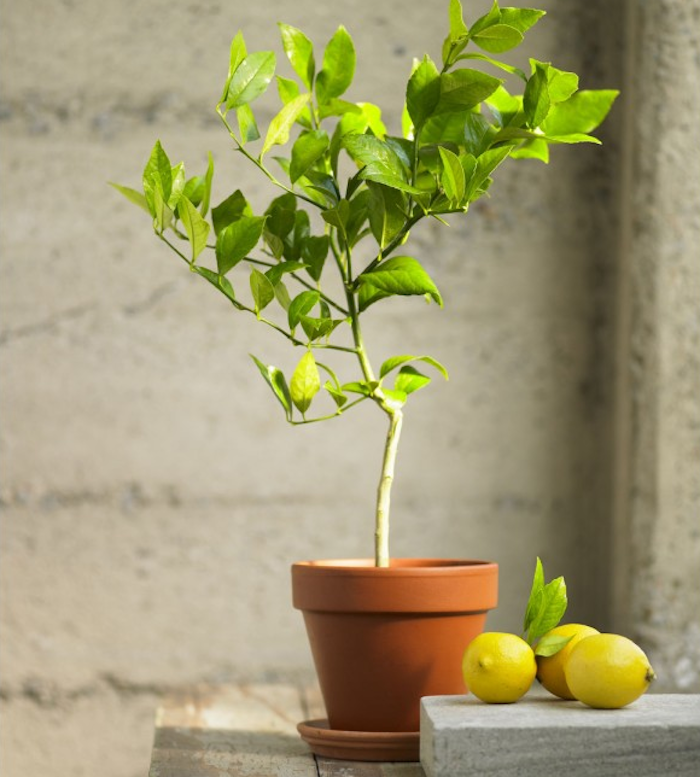 700_organic-meyer-lemon-topiary