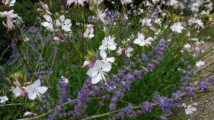 Gaura lindheimeri mingling with Nepeta sibirica. Photograph by Kendra Wilson.