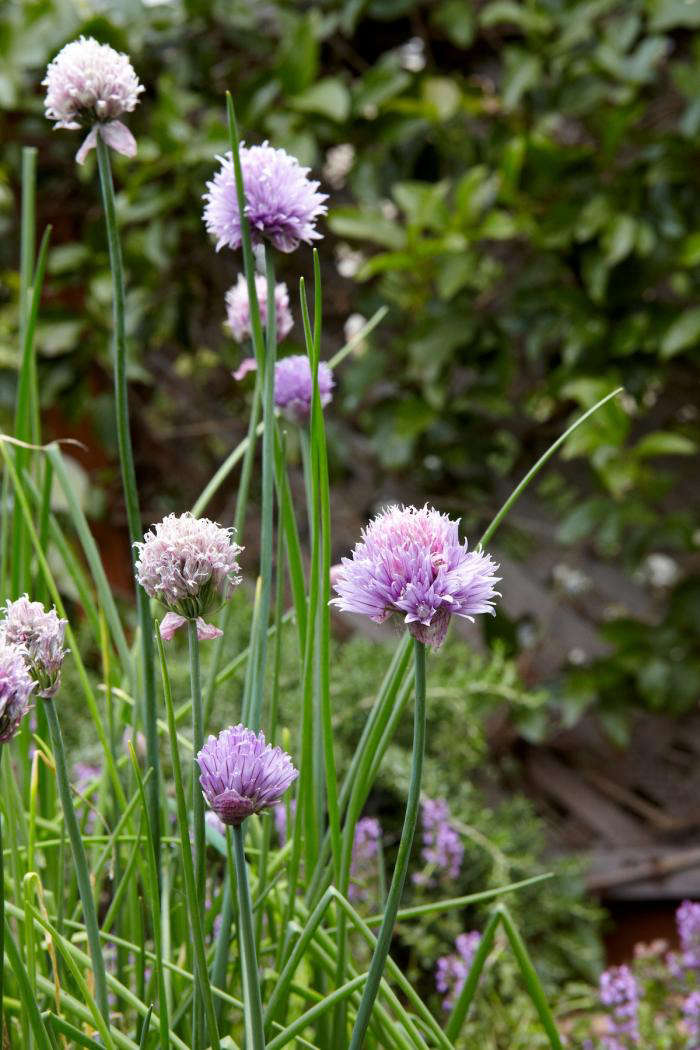 Plant chives and Steal this look for water troughs to turn a water trough or watering trough into a raised vegetable bed garden