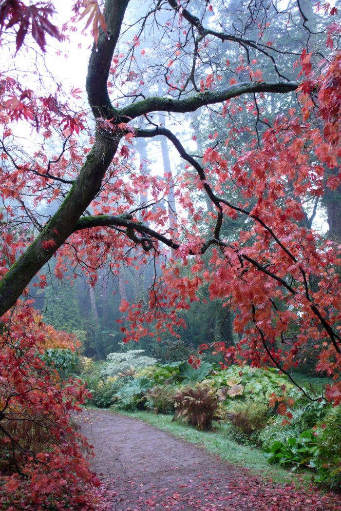 Acer palmatum&#8