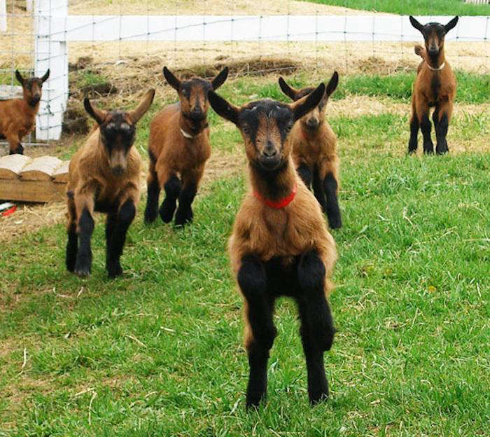700_bardwell-farm-goats