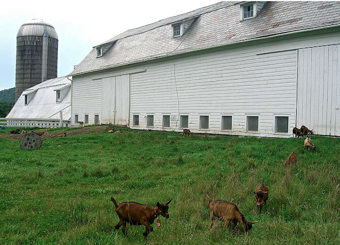 700_goats-on-the-farm