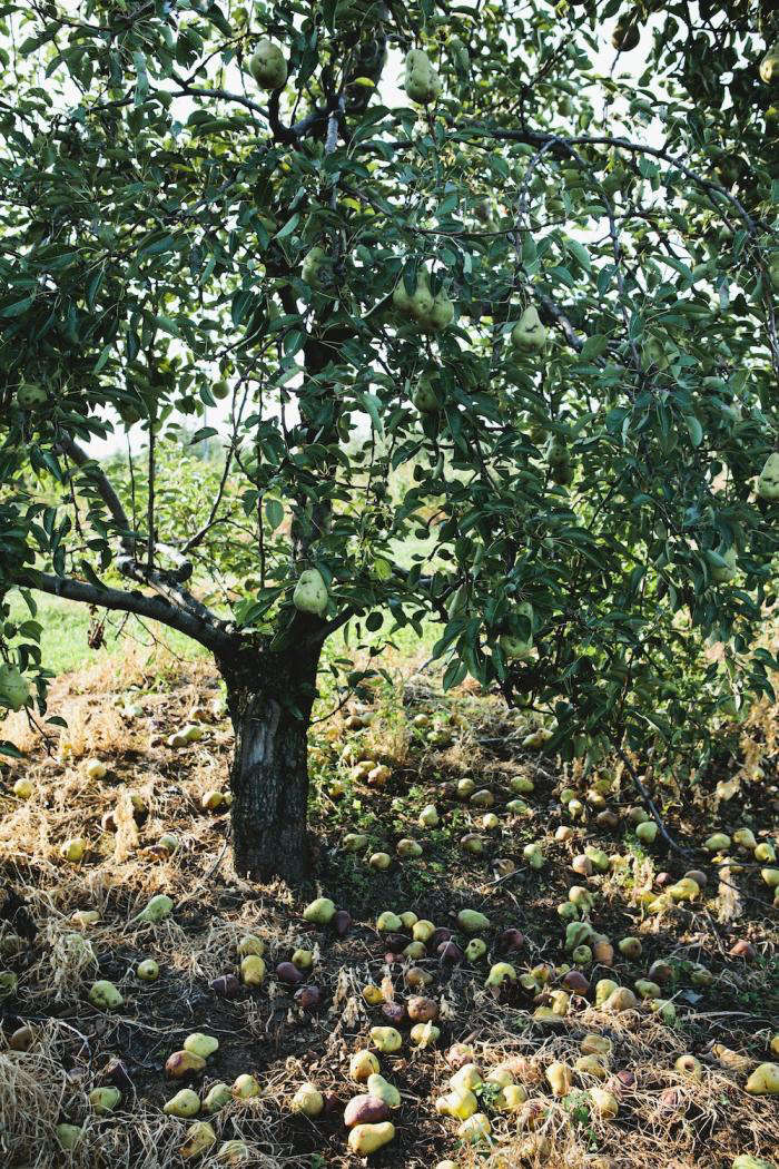 700_nicole-franzen-pear-tree