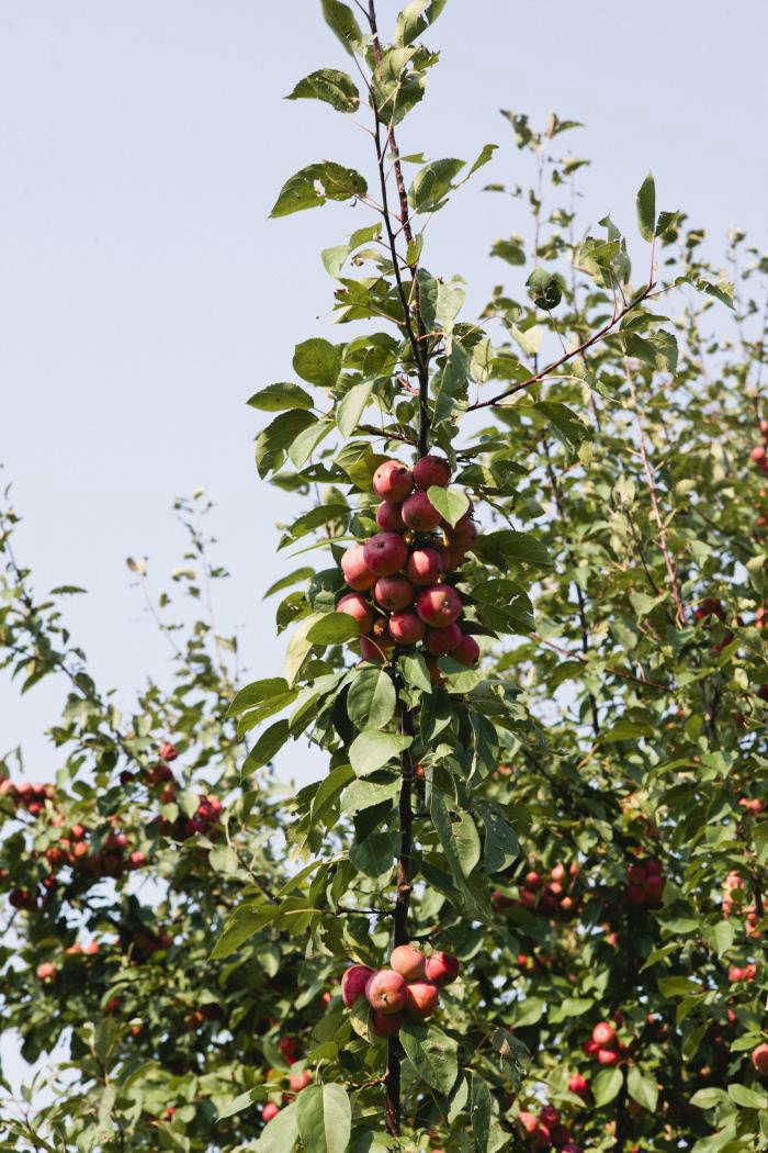 700_nicole-franzen-red-pear-tree
