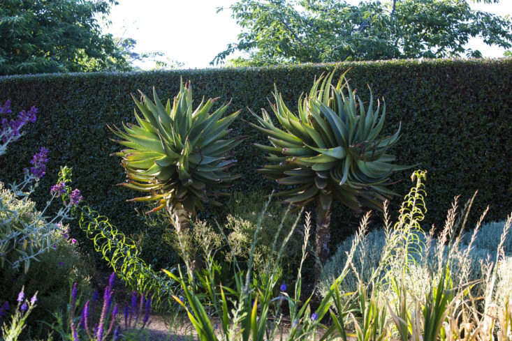 A remarkably green, drought-tolerant wall of privetat Lambley Nurseryserves as a serenebackdrop, making the shapes and colors of individual plants become more remarkable. Shown here: Aloe ferox, with roots that don't mind competing with those of the hedge. Photograph by Claire Takacs fromCan This Garden Be Saved? &#8\2\20;It Barely Rains; I Live in a Desert.