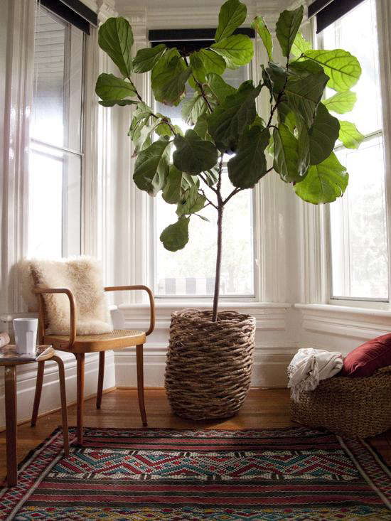 Fiddle leaf fig tree (fiddle-leaf fig) by The Marion House Book