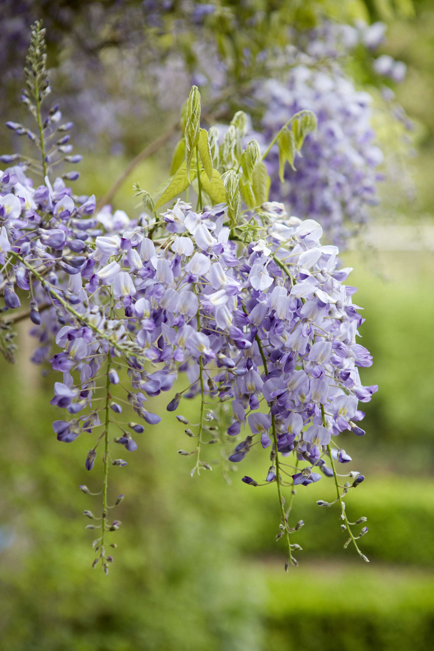 Wisteria wants to bloom when it feels increased warmth from direct sunlight and when there is nothing above to climb.