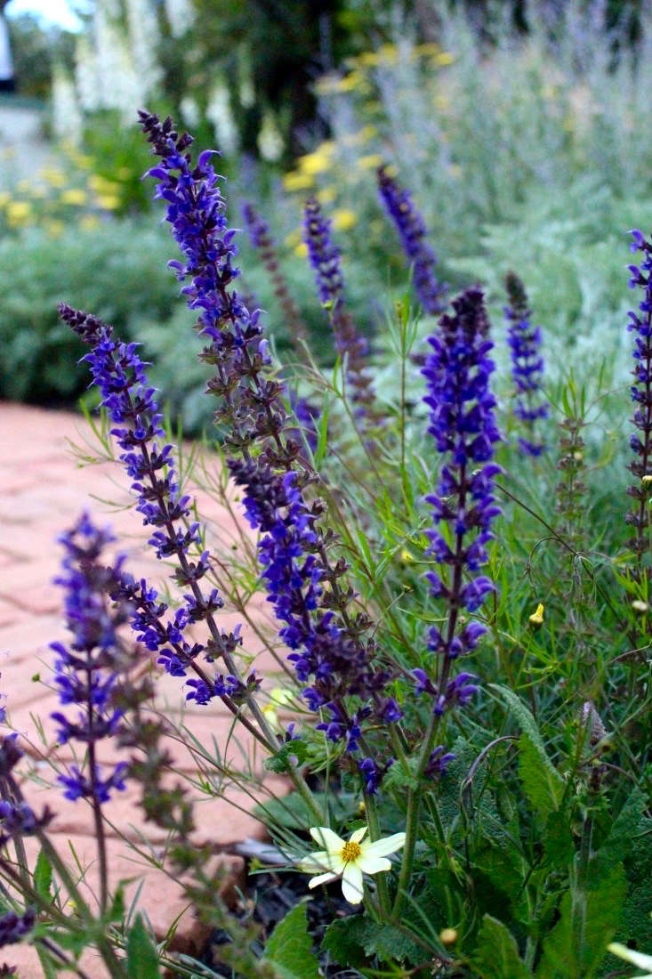 Spiky salvia is a bee magnet, which is one reason I grow it. Another is for the deep, true purple bottle brushes it sends up. After it&#8