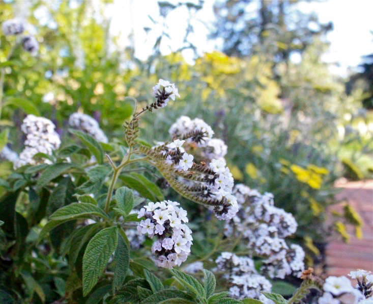 White heliotrope is hardier than purple varieties (which have never survived a winter for me, even in California), and the fragrant clusters of flowers last a long time. You can see above how one of the stems is starting to look browner and furrier than than the rest; I&#8