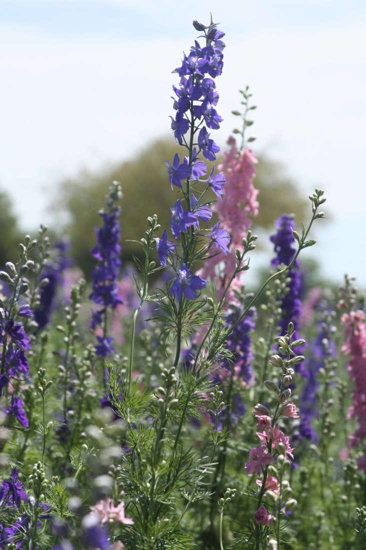 Larkspur flowers by Amy the Nurse via Flickr.