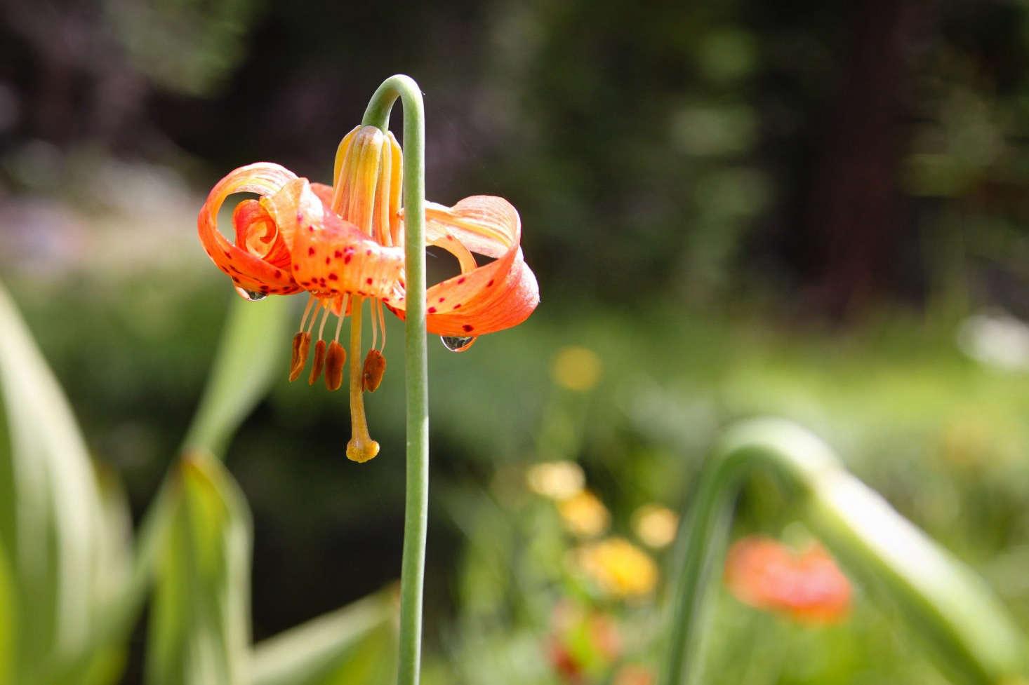 An orange Leopard Lily (Lilium henryi) can grow as high as 8 feet. Photograph by Odonata98 via Flickr.