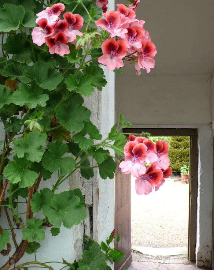 For more, see Please Don&#8\2\17;t Call Them Geraniums. Photograph by Kendra Wilson.