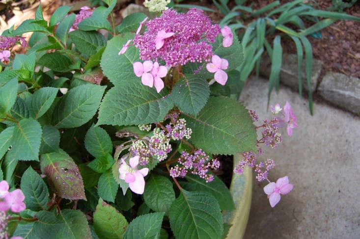 Twist and Shout hydrangea pink hydrangeas