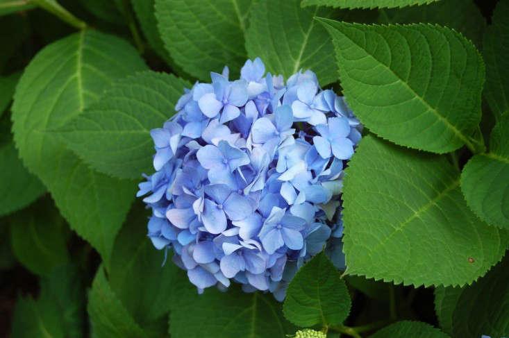 Endless Summer hydrangea blue hydrangeas