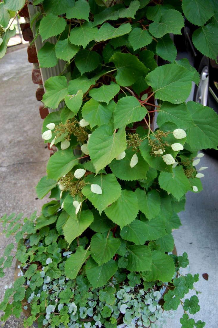 Climbing hydrangea vine hydrangeas