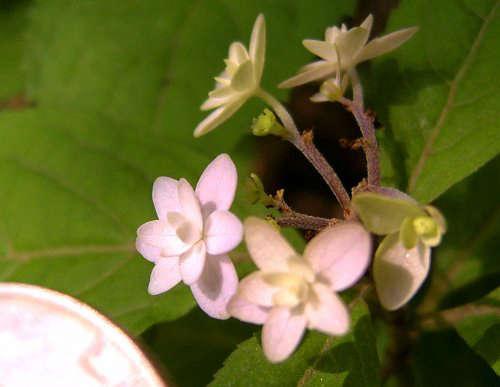 Midoriboshi Temari Hydrangeas serrata pink hydrangeas