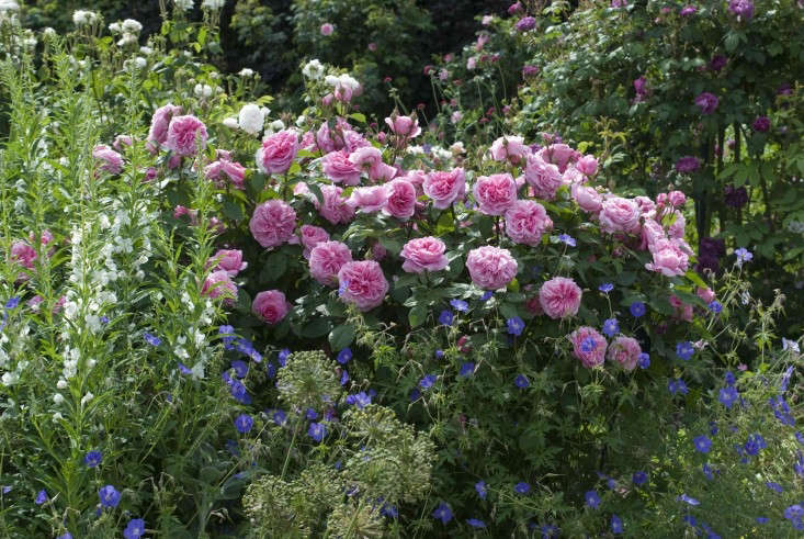 From David Austin, Rosa Gertrude Jekyll Rose(Ausboard) is $.50 in the US and £.50 in the UK; here is it planted alongside Epilobium and Geranium 'Brookside'. Photograph courtesy of David Austin Roses.