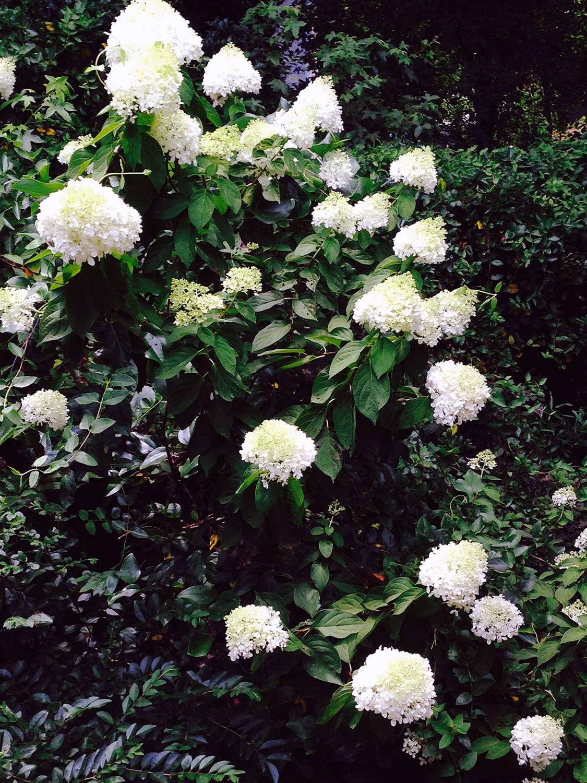 Limelight hydrangea white hydrangeas shrubs