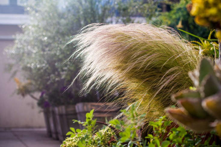 Stipa splendens works well in Beth Chatto&#8\2\17;s celebratedGravel Gardenin Essex, which is never watered. S. splendens features very thin flower spikes from a large, clumped base. The Beth Chatto Gardens sells Stipa Splendensseeds seasonally.