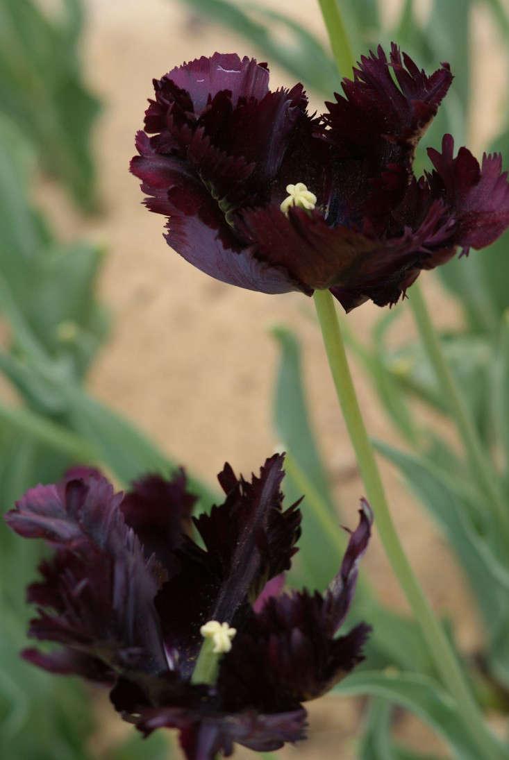 Tulipa Black Parrot Wikimedia