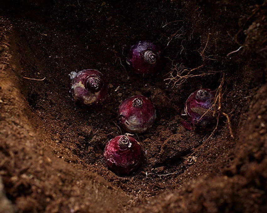 plant fall bulbs with crown up