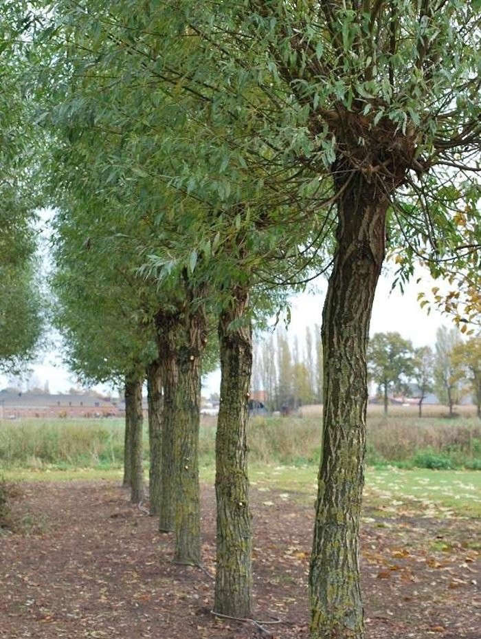 Solitair Nursery in Loenhout, Belgium offers wholesale customers (i.e. professional garden designers, landscape contractors, and municipalities) specimens for a big property: trees, distinctive standards, and shrubs in many shapes. For more, see Shopper&#8