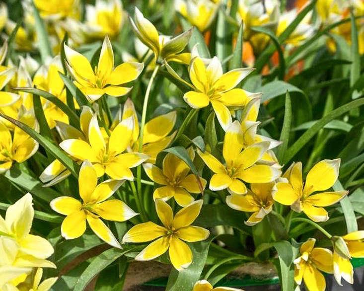 tulip-dasystemon-tarda-grande