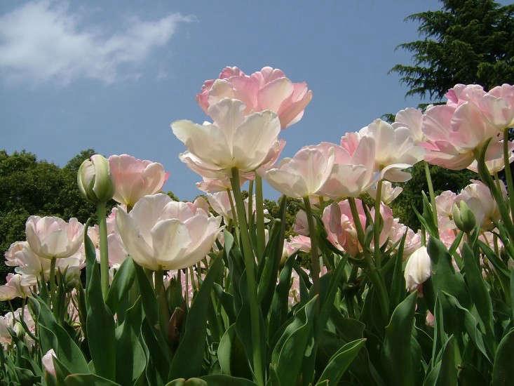 tulipa angelique sakurai midori-wikimedia