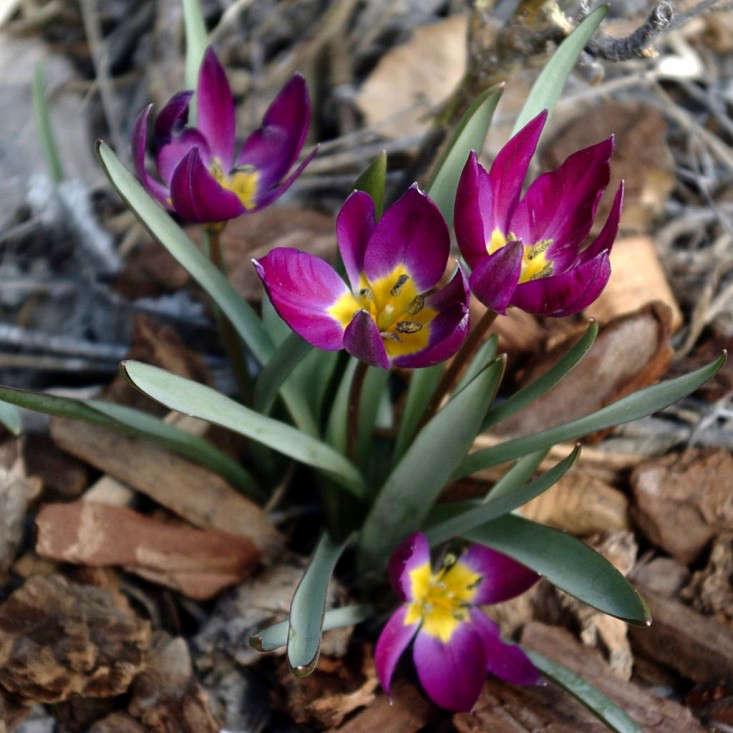 Tulipa Persian Pearl Wikimedia