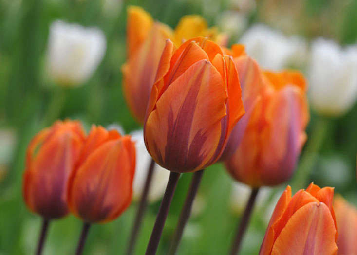 tulipa-prinses-irene-via-crocus-uk