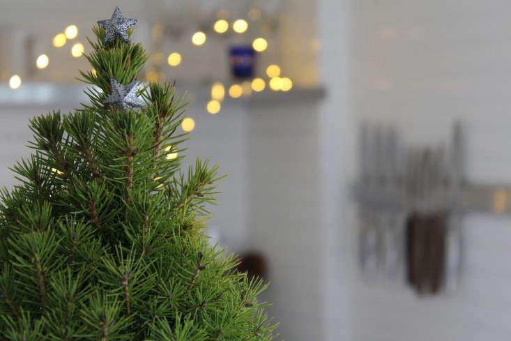 alberta-spruce-gardenista