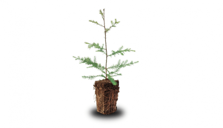 Pulled from the greenhouse the day it is shipped, a Sequoia Sempervirens Coast RedwoodSequoia Sempervirens Coast Redwood tree can be planted in the ground after the holiday season ends (if you have enough space in your landscape for a tree that at maturity will reach a height of 300 feet). It is \$49.99 plus \$3\2.\10 for shipping from Jonsteen Company via Amazon.
