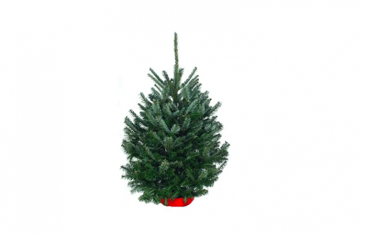 An aromatic Tabletop Balsam Fir Tree is 4 feet tall and is \$54 from Hill Top Tree.