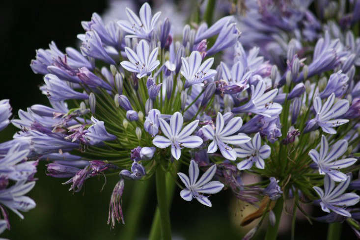 agapanthus_marie viljoen-gardenista