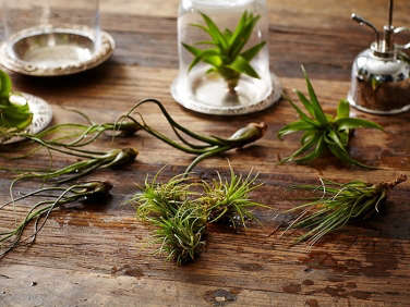 air-plants-tillandsias-mister-glass-cloche-gardenista