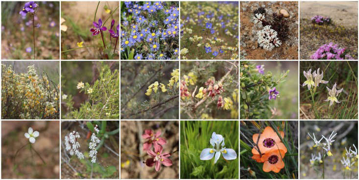 nieuwoudtville flowers