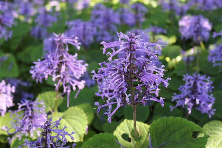 plectranthus-groundcover_marie viljoen-gardenista