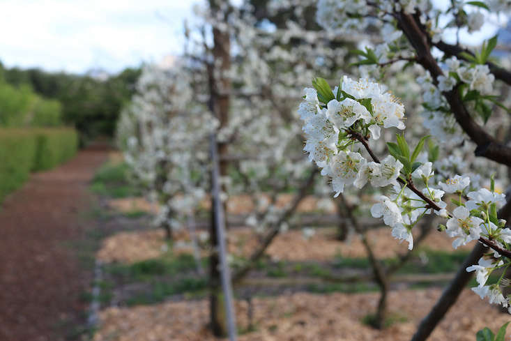 plum blossom_marie viljoen-babylonstoren-gardenista